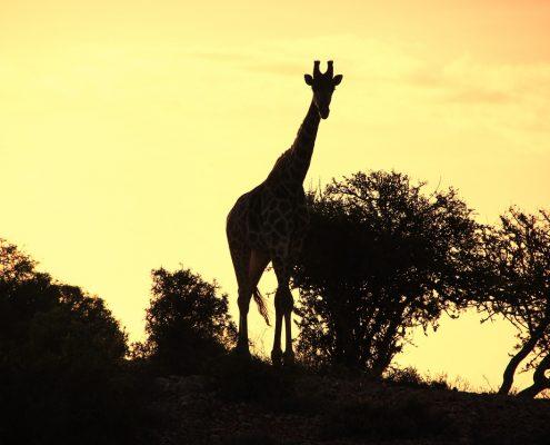 giraffe-776228_1280